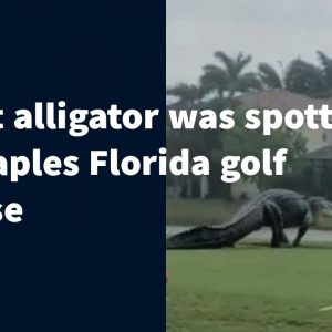 A Huge Alligator spotted in Naples Florida Golf Course | Updated | USA