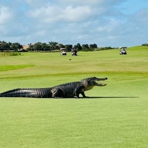 Giant gator walks across golf course in Florida