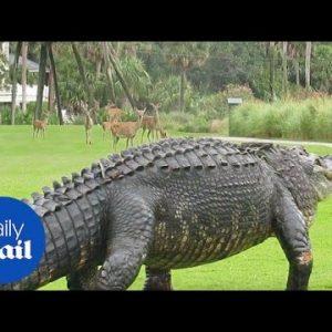 Huge alligator shocks herd of deer on golf course in South Carolina - Daily Mail