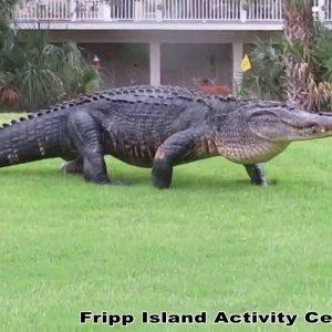 Massive gator takes stroll on South Carolina golf course