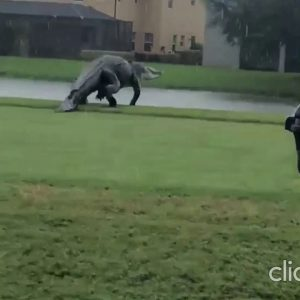Dinosaur sized Alligator On A Florida Golf Course Is Like A Trip To Jurassic Park || November 2020