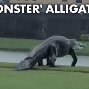 Monster alligator prowls Florida golf course during Tropical Storm Eta | New York Post